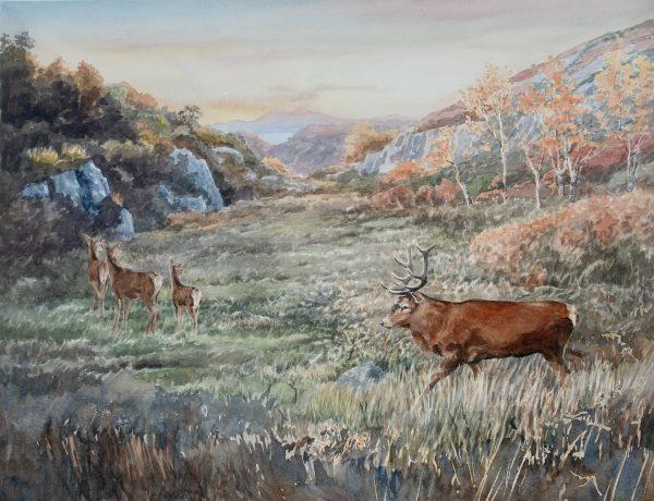 Red deer, Tor Mhor